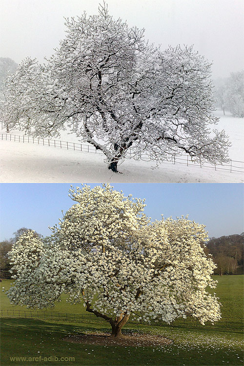 Magnoliaspringwinter.jpg