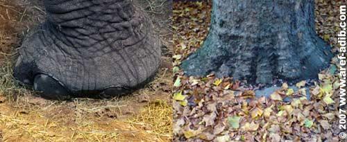 elephantfoot.jpg