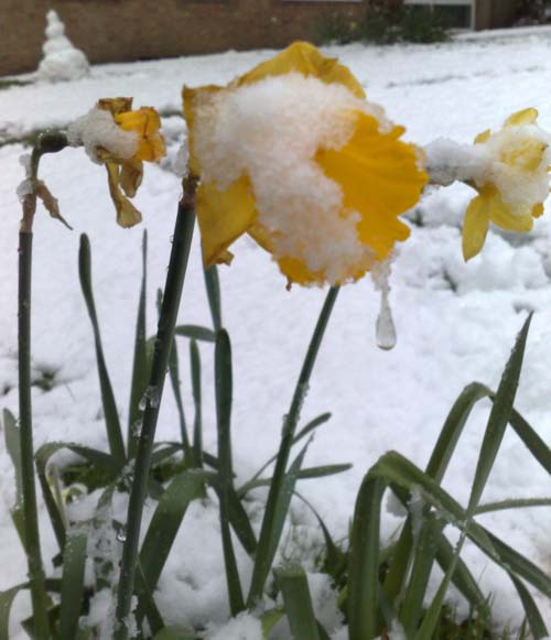 frozen_daffodils.jpg