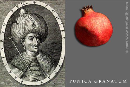 shahabbas_pomegranate.jpg
