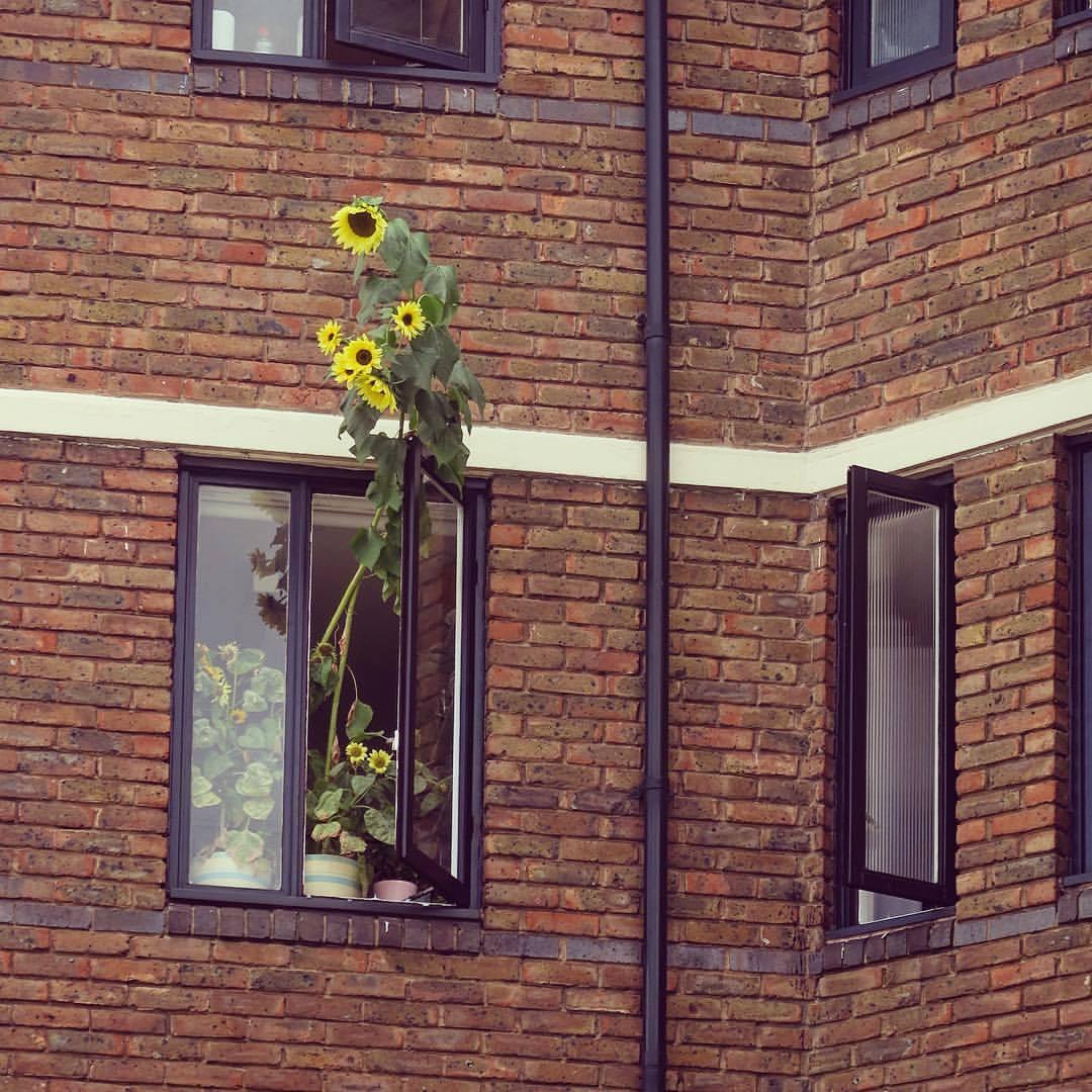 sunflowers-WestLondon.jpg